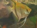 Verschiedene Fischarten für das Süßwasseraquarium