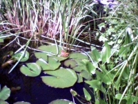 Tipps zum Gartenteich Thema Pflanzen: Das Hechtkraut