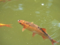 Goldorfen infos und wissen teich aquarium fischfutter for Goldorfen im teich