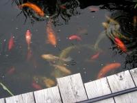 Orfen, Goldfische und Koi