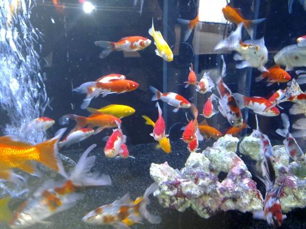 goldfische im aquarium halten so schaffen sie eine. Black Bedroom Furniture Sets. Home Design Ideas